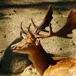 Red deer — Stock Photo #60613481