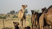 Camels at Bikaner, India — Stock Photo