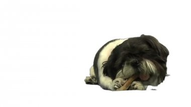 Dog eating bone — Stock Video