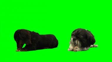 Dogs eating bones — Stock Video