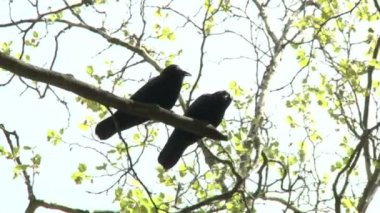 Black crows on tree — Stock Video