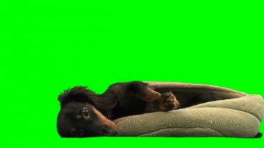 Dog lying on pillow — Stock Video