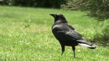 Crows on grass — Stock Video
