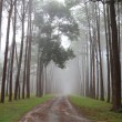 Pine trees in a forest with fog — Photo #58872823