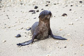 Baby sea lion with sand stuck in his chest — Stock Photo