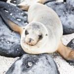 Sea lion — Stock Photo #68726005