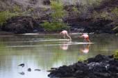 Flamingos walking in water — Stock Photo