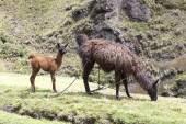 Lama volwassene die gras met haar kalf — Stockfoto