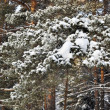 Snow branch pine in Siberia forest winter time — Photo #59119603