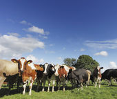 Curious Cattle — Stock Photo