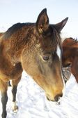 Brown horses in snow — Stock Photo