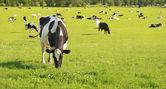 Cattle Grazing — Stock Photo