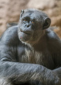 Portrait of a chimpanzee. Canary Islands , Tenerife, Lora Park Z — Stockfoto