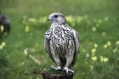 Falco — Stock Photo