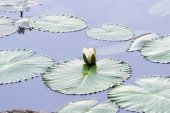 Brightly Colored Water Lily or Lotus Flower Floating on Pond — Stock Photo