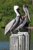 Pelican times two — Стоковое фото