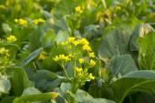 Chinese cabbage flower — ストック写真