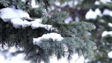 Fur-Tree Branch with Snow — Wideo stockowe