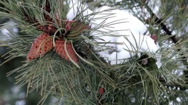 Pine Branch with Cones and Melting Snow — Stock Video