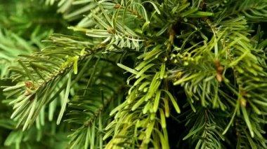 Coniferous Tree Rotate — Stock Video
