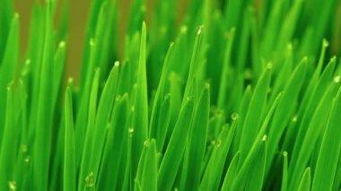 Fresh Green Grass with Raindrops — Stockvideo