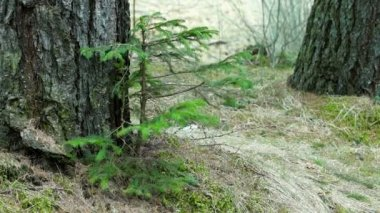 Young Fir Tree Swaying in a Strong Wind — Stock Video