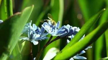 Several Bees Pollinate Spring Young Flowers — Stock Video