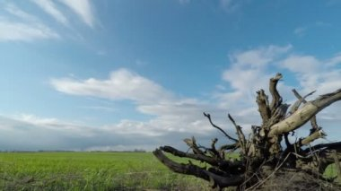Root of a Tree and Clouds Sweep Over the Green Field — Wideo stockowe