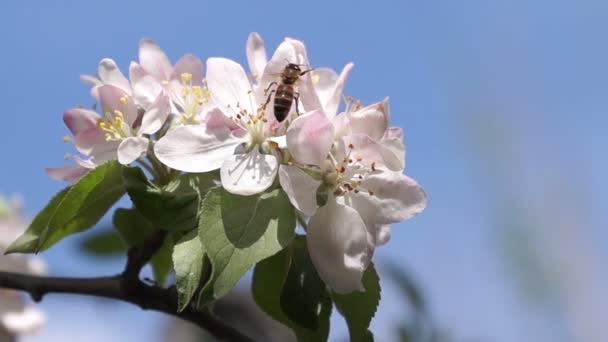 Bee Pollinating Spring Flowers — Vídeo de stock