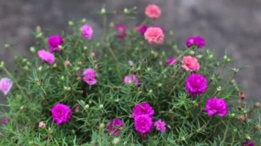Close up Pink Common portulaca flowers — Stock Video