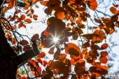 Sunbeam penetrates the bush of red autumn leaves — Stock Photo