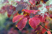 Autumnal leaves of larch tree in the forest — Stock Photo