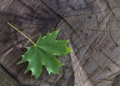 Fresh green maple leaf on wooden stock — Stock Photo