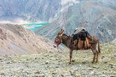 Cargo donkey in mountain area — Stock Photo