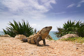 Iguana portrait — Stock Photo
