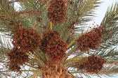 Date palm full of fruits — Stock Photo