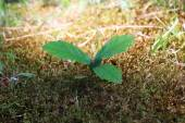 Oak sprout grown up  in a lawn — Stock Photo