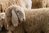 Retrato de una oveja con orejas largas — Foto de Stock