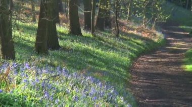 Bluebells in springtime — Stock Video