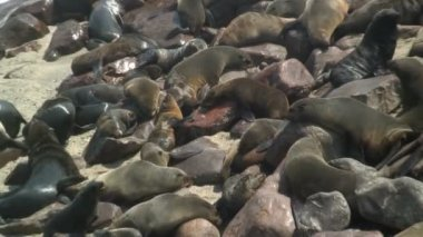 Seal colony on the shore — Stockvideo