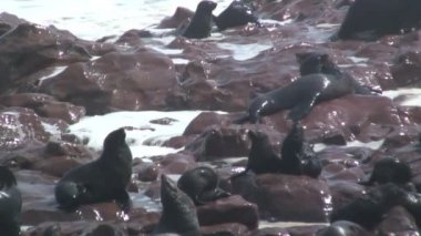 Seal colony on the shore — Stock Video