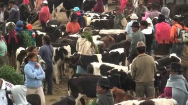 Cattle Market in Saquisili Ecuador South America — Stock Video