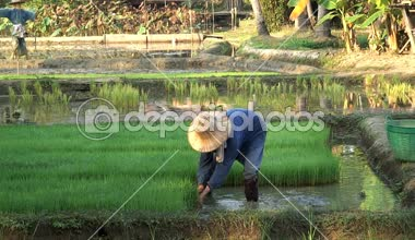 Worker gathering the Rice — Video Stock