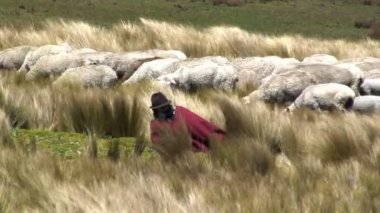 Shepherd tending his sheeps — Stock Video