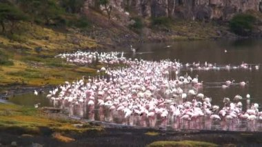 Flamingoes Phoenicopterus roseus — Stock Video