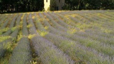 Lavender field in France — Stock Video