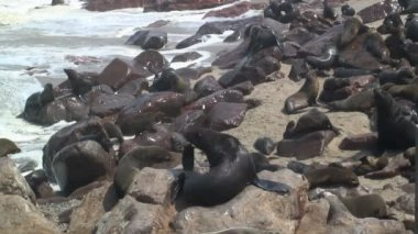 Seal colony on the shore — 图库视频影像