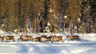 Reindeers sürüsü — Stok video