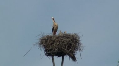 Stork nesting with chicks — Stock Video