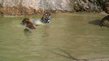 Group of Tigers Playing — Stock Video